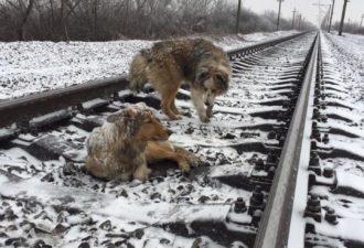 Он два дня охранял раненую собаку на рельсах…
