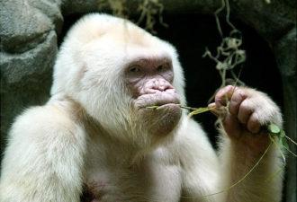 Эффект белой обезьяны