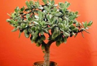 Как посадить денежное дерево, чтобы деньги водились