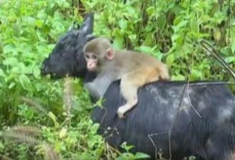 На востоке Китая детеныш обезьяны нашел себе маму-козу